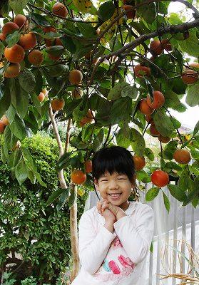 富有柿の収穫