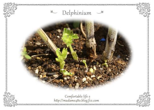 デルフィニウム夏越しweb用