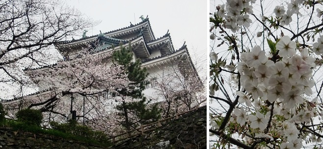 CIMG1268和歌山城のサクラ