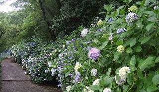 高幡紫陽花