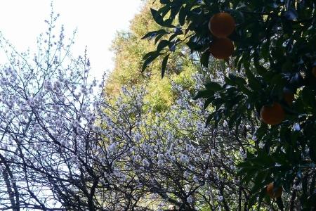 梅の木と夏みかん