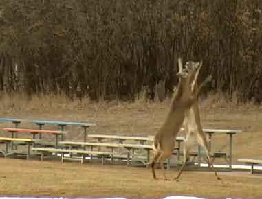 Sioux Falls Deer Fight