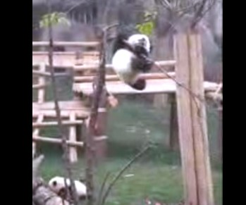 Baby Panda Cant Find Way Down from Tree