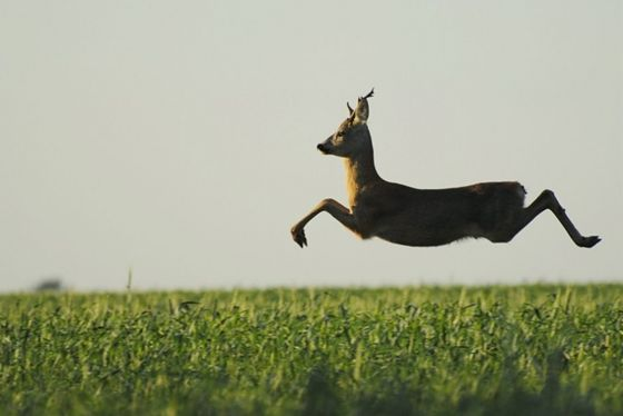 A European roe deer caught mid-jump
