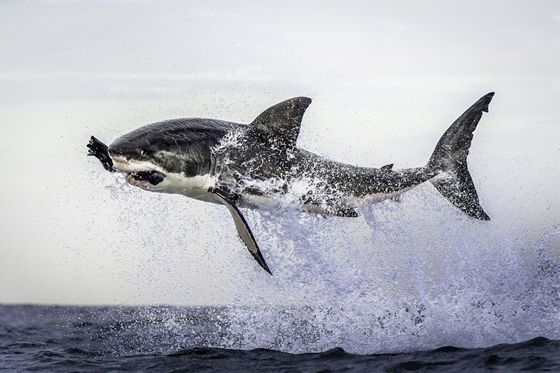 A great white shark becomes airborne in Cape Town, South Africa