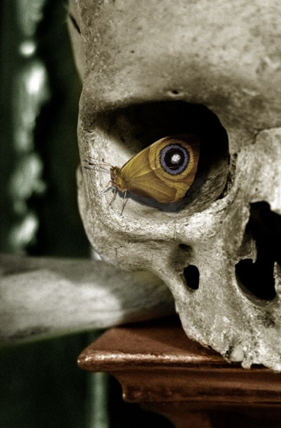 A polyphemus moth rests in a human skull