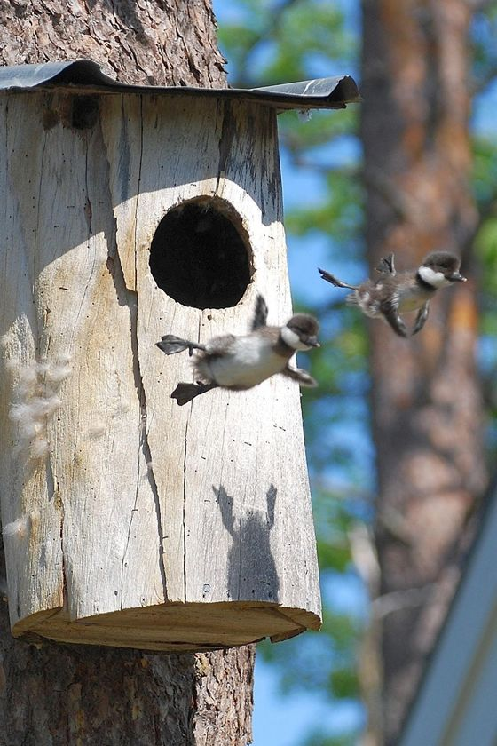 Baby Canada geese leave the nest for the first time