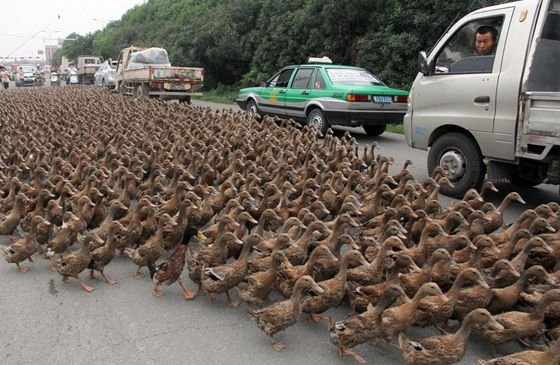 Traffic stops as over 5,000 ducks cross a road in Zhejiang China