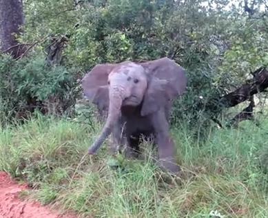 Baby Elephant trying to be a big guy