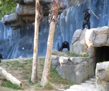 Crazy Chimps Fighting at the LA Zoo
