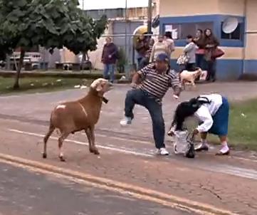 BODE ATERRORIZA PESSOAS NA RUA