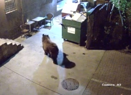 bear steals