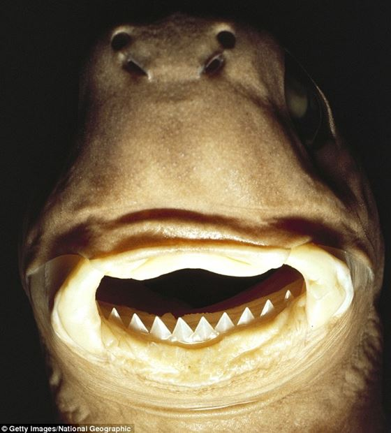 Cookie Cutter Shark2