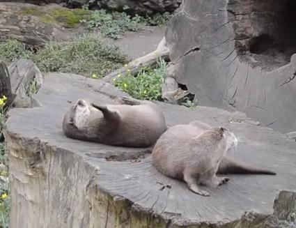 Otter spielt mit einem Stein