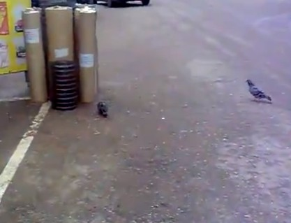 Poor kitty tries to catch pigeon in traffic