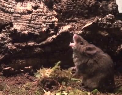 Video del raton cantor de cola corta