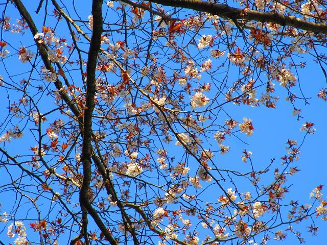 山桜ゆえ地味