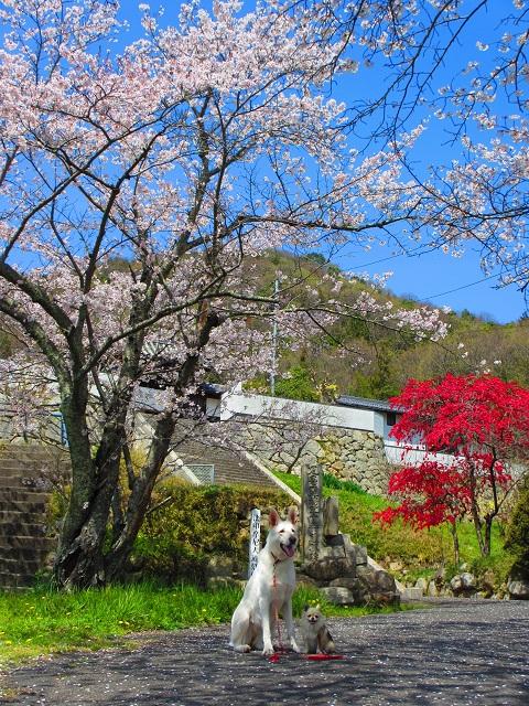 お寺さんの桜です