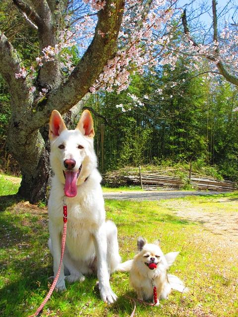 乙女には桜が似合うはずです