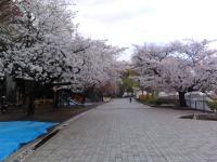 sakura130326_5.jpg