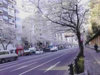 sakura130326_6.jpg