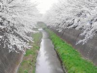 sakura130327_11.jpg