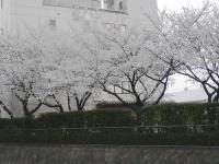 sakura130327_7.jpg