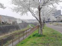 sakura130327_9.jpg