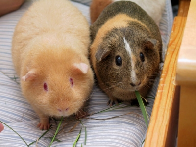 Two_adult_Guinea_Pigs_(Cavia_porcellus).jpg