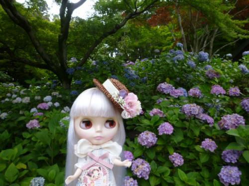 紫陽花寺♪