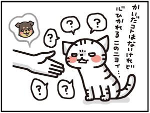チワワ11