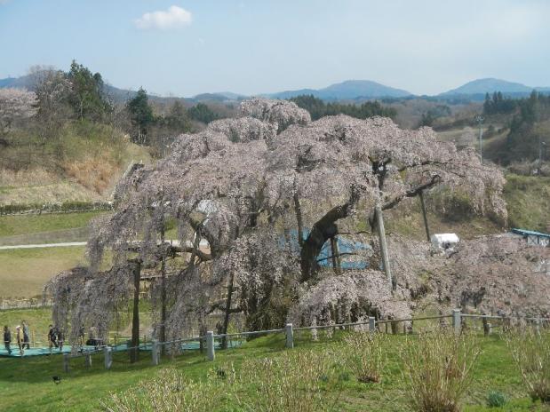 三春滝桜 (14)