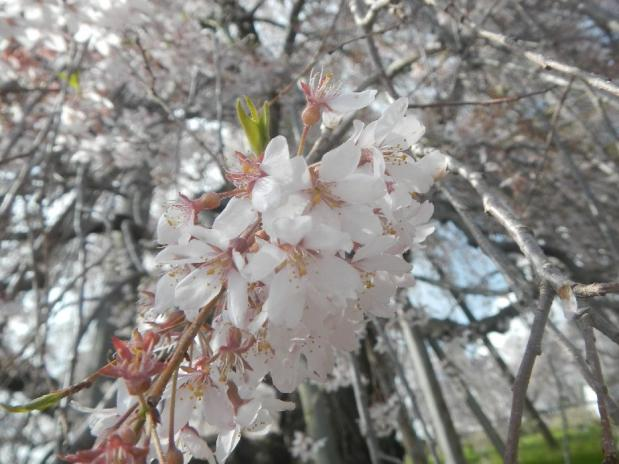 三春滝桜 (7)