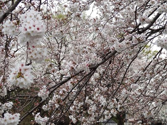 野川沿い桜アップ