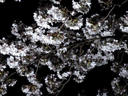 野川夜桜②