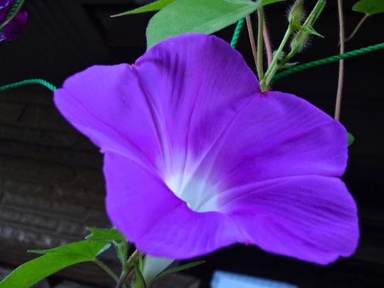 紫大輪朝顔
