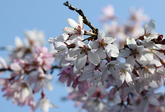 4月4日の桜2