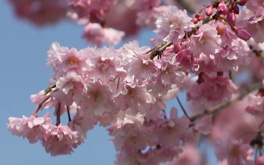 4月4日の桜4