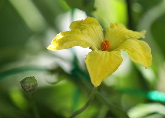意外に小さなゴーヤの花