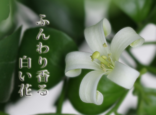 ふんわり香る白い花