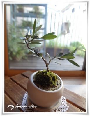盆栽オリーブ002