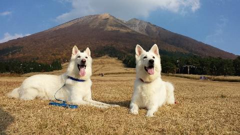 ホワイトスイスシェパード★エース★&★リサ★大山桝水