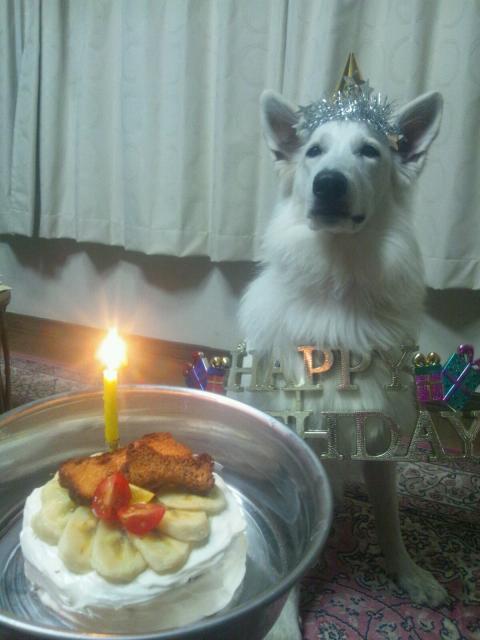 ホワイトスイスシェパード★カエデ★1歳おめでとう!