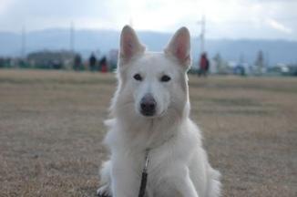 ホワイトスイスシェパード★デップ★(エースの父犬)