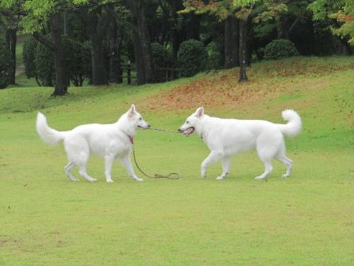 ホワイトスイスシェパード★ビオラ★&★タキオン★H25、08、25