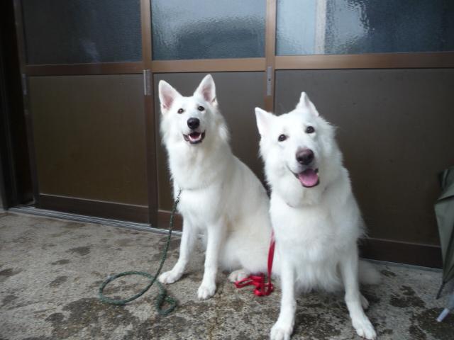 ホワイトスイスシェパード★ルーア★&★リサ★