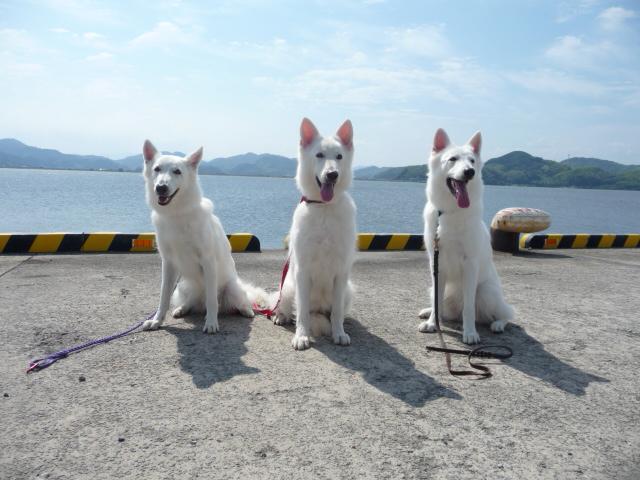 ホワイトスイスシェパード★ビオラ★&★リサ★(母)&★タキオン★