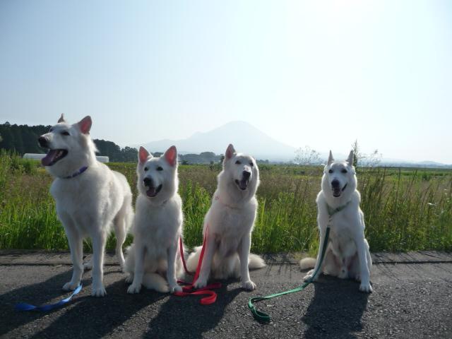大山バックにホワイトスイスシェパード4匹の写真