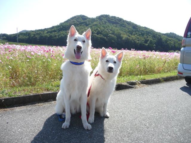 ホワイトスイスシェパード★エース★&★リサ★