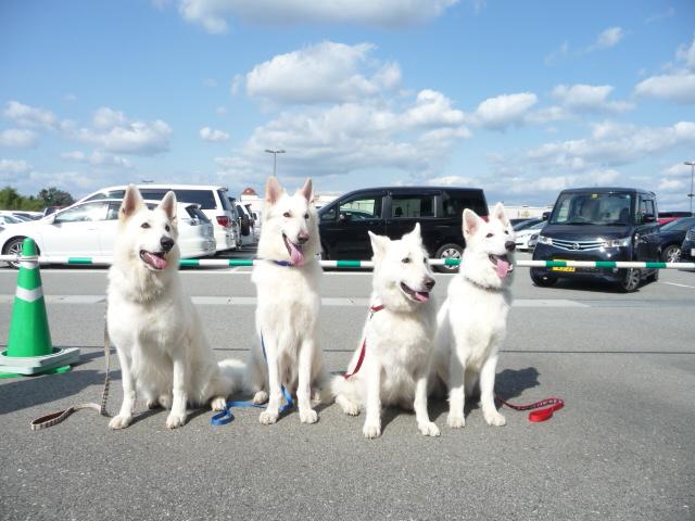 ホワイトスイスシェパード★レオくん★&★エース★&★リサ★&★ラン★